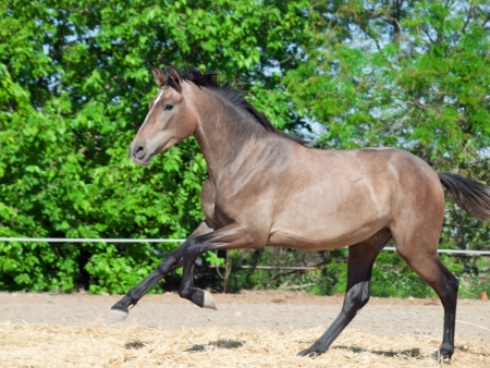 galoping Andalusian grey young  stallion. Spain photo