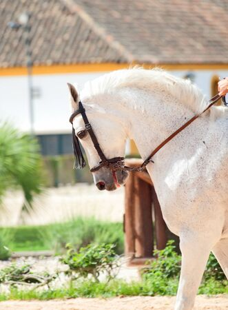 warmblood: portrait of Andalusian white horse in movement sunny day  Spain