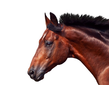 portrait of galloping sportive breed  horse isolated