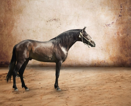 Andalusian breed stallion at abstract background photo