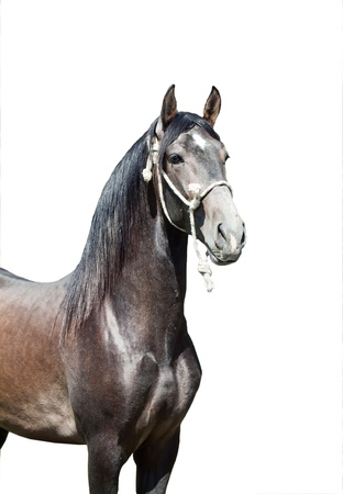 portrait of Andalusian grey  stallion sunny day Spain photo