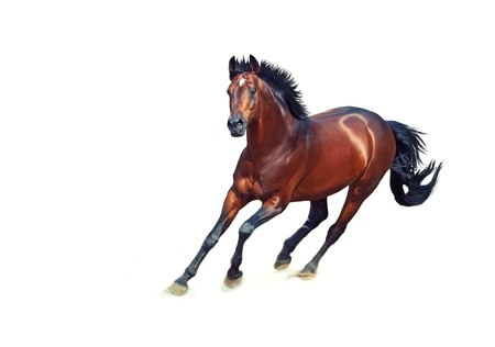 thoroughbred: galloping bay sportive breed  horse isolated on white