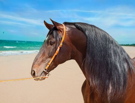 portrait of Andalusian bay stallion at ocean background photo