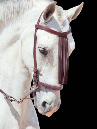 portrait of beautiful Andalisian speckled- white horse. Spain. isolated photo