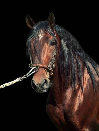 portrait of beautiful purebred Andalusian bay stallion, isolated on black background.Spain photo