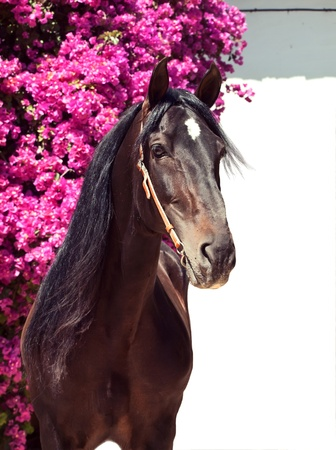 beautiful purebred Andalusian stallion at flowers background, sunny day. Spain Stock Photo