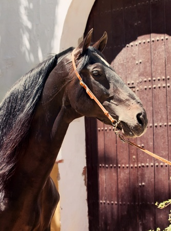 portrait of Andalusian bay stallion at door background. Spain photo