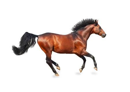 galloping bay sportive breed  horse isolated on white