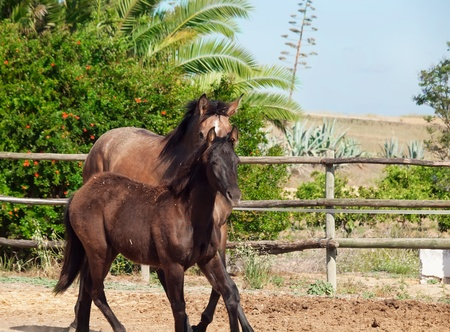 galoping Andalusian horse. Spain. sunny day photo