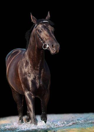 black horse: hermoso caballo negro en el lago aislado en fondo negro