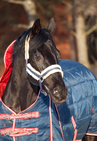 portrait of beautiful black horse. winter.  photo