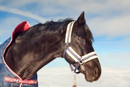 portrait of beautiful black horse in coat at the sky background .  photo