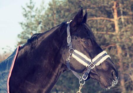 portrait of beautiful black horse in coat . winter.  photo