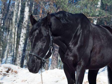 portrait of beautiful black horse. winter. outdoor photo
