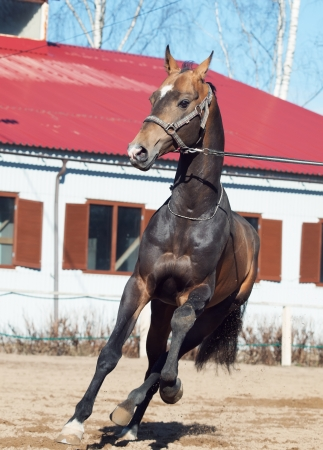 beautiful ahalteke  stallion in  motion Stock Photo - 20386192