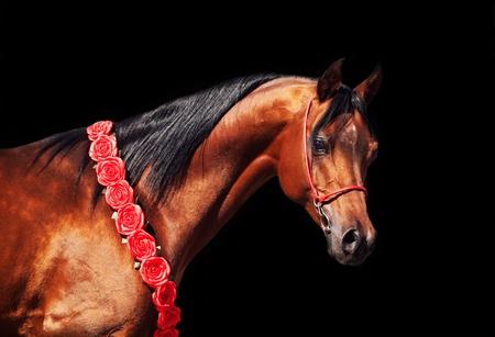 purebred bay arabian stallion isolated on the black Stock Photo