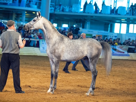 03 may 2013: purebred grey  arabian stallion in international exhibition, Russia Stock Photo - 19415188
