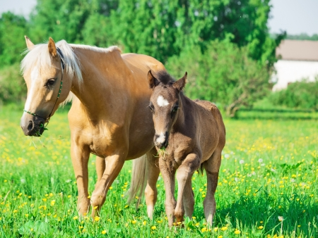 welsh pony mare with foal in the spring meadow Stock Photo