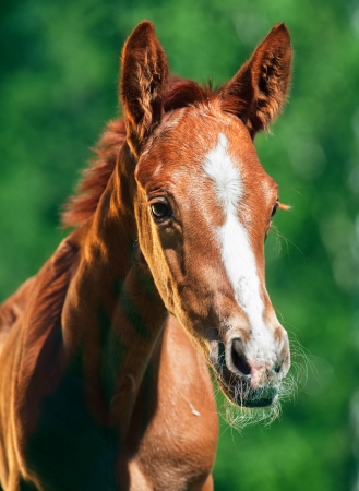 portrait of little chestnut  Trakehner foal Stock Photo