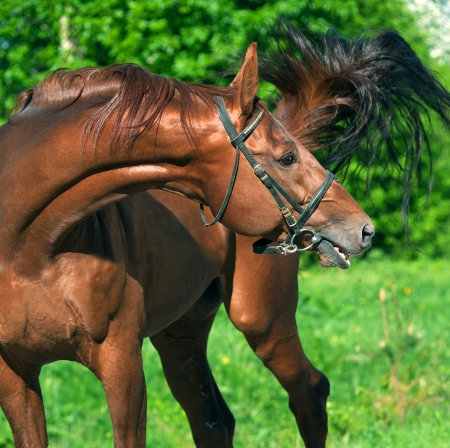 trakehner:  chestnut Trakehner stallion  Stock Photo