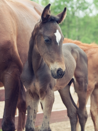 portrait of  little  sportive  foal photo