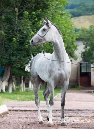 grau racing arabisches Pferd