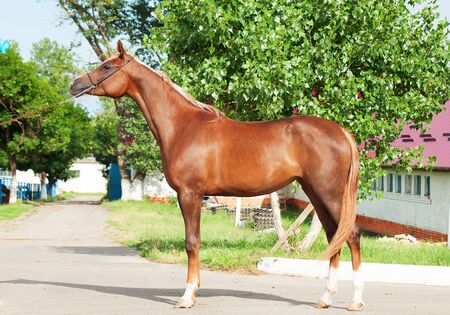 filly: exterior of chestnut arabian filly Stock Photo
