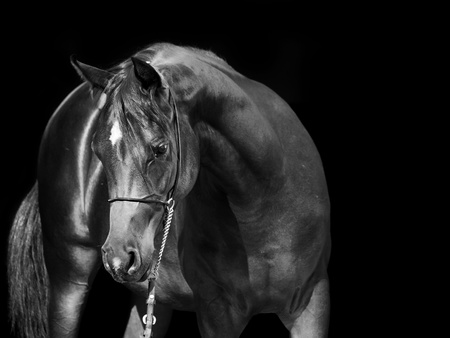 show horse: portrait of  arab at black background Stock Photo