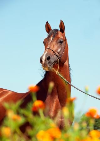 portrait of bay arabian stallion