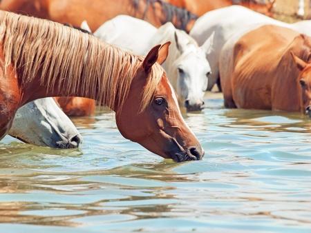 caballo bebe: beber caballo �rabe en el lago. d�a soleado