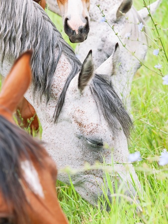 herbal knowledge: grazing purebred arabian mares . cloudy day Stock Photo