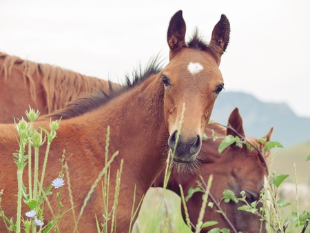 herbal knowledge: arabian foal with mom in the meadow. cloudy day
