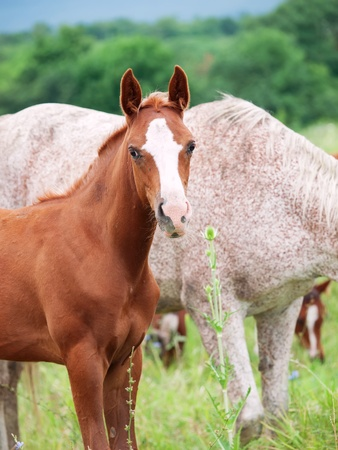 herbal knowledge: arabian foal with mom in the meadow Stock Photo