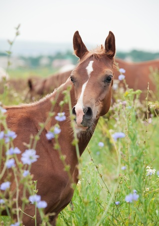 herbal knowledge: breed arabian foal in the meadow  cloudy day Stock Photo