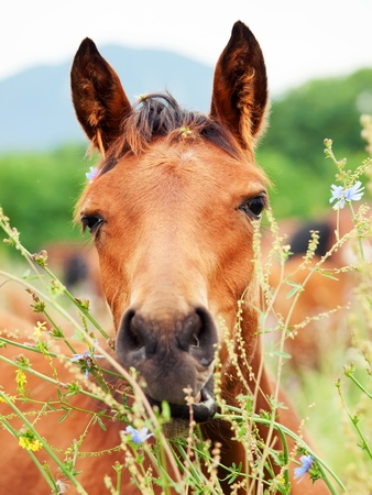 portrait of arabian foal among herbs  pasture  cloudy day