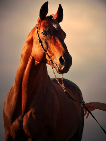 portrait of wonderful   bay  sportive  stallion  photo