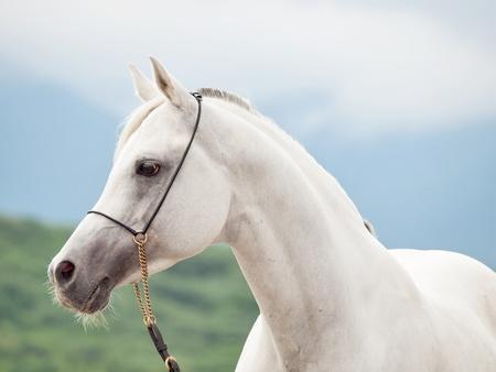 portrait of white arabian stallion