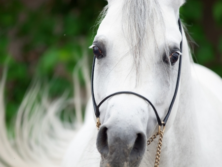portrait of white arabian stallion  close up Stock Photo - 21465697