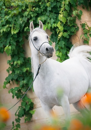 Amazing white arabian stallion  photo