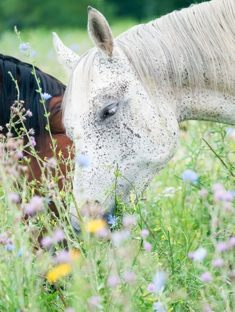 herbal knowledge: purebred speckle - gray arabian mares at the pasture