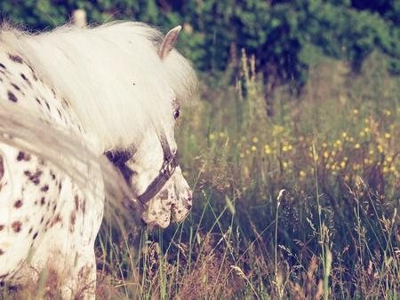appaloosa: portrait of  mini appaloosa pony in the pasture