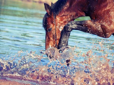 portrait of splashing bay horse. focus on the drops photo