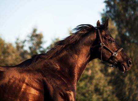 Running beautiful black stallion in the meadow photo