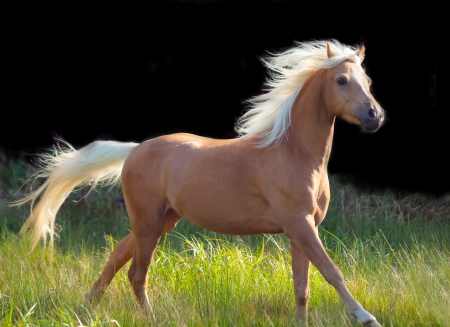 galoping palomino welsh pony at black background Stock Photo