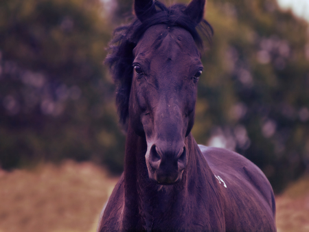 portrait of beautiful black horse in movement.  cloudy evening