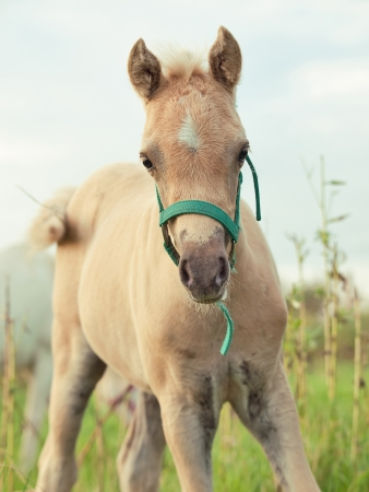 herbal knowledge: portrait of welsh  pony  foal. cloudy evening