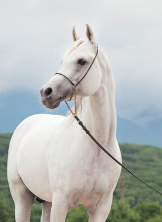 white amazing arabian stallion at sky background Stock Photo