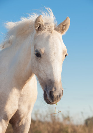 herbal knowledge: portrait of cremello  welsh  pony  filly