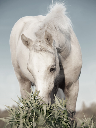 herbal knowledge: cremello welsh  pony  foal in the field.
