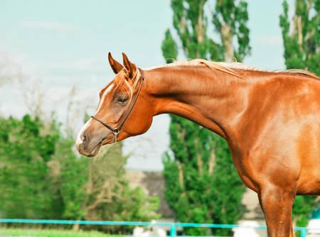 filly: portrait of chestnut arabian filly
